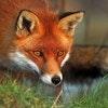 Fox Room