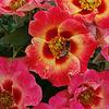 Calypso Rose Standard