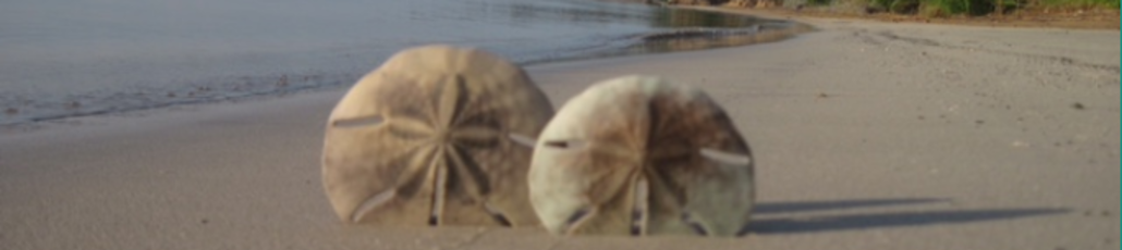 Sanddollar1
